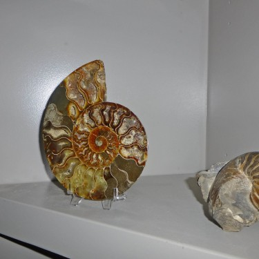 A Dramatic Fossil Ammonite Display Piece